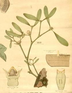 Plante de Gui - Bibliothèque Numérique de l'Université d'Artois